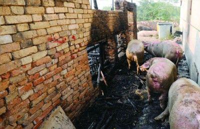 """安徽一养猪场突发大火,600头生猪差点变""""烤猪"""""""
