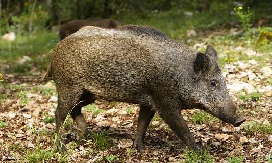 猪价稳定地区增多 假日期间将以稳中震荡调整为主