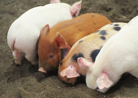 国务院大督查发现:生猪调运已成疫病扩散的主要风险