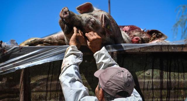 扑杀4000多头猪以防非洲猪瘟,这个国家这样做!