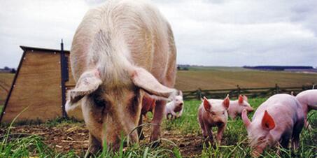 387头加拿大种猪进境接受隔离检疫,天津海关多重举措确保进境种猪安全