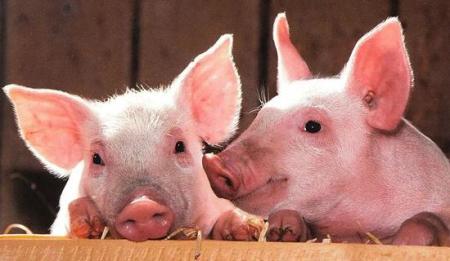 仔猪的各种行为特点,传达了什么信息,你了解吗?
