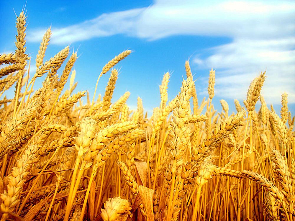 猪饲料中小麦代替玉米的优缺点
