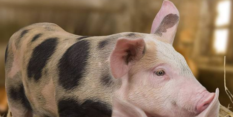 2018年10月10日(15至19公斤)仔猪价格行情走势