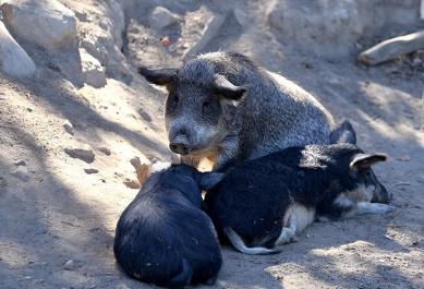 """法国年轻一代嫌猪肉肥 肉商引入几已绝迹的半野猪""""曼加利察猪"""""""
