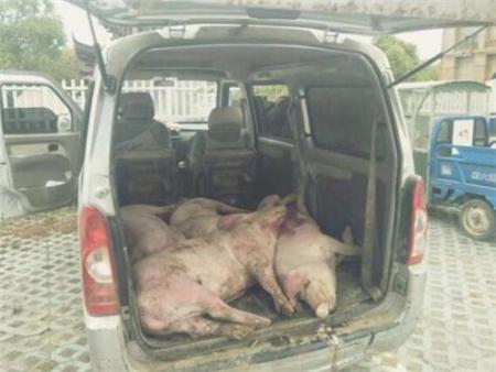 猪油蒙了心!夫妻俩贩卖病死生猪被东海交警及时查获