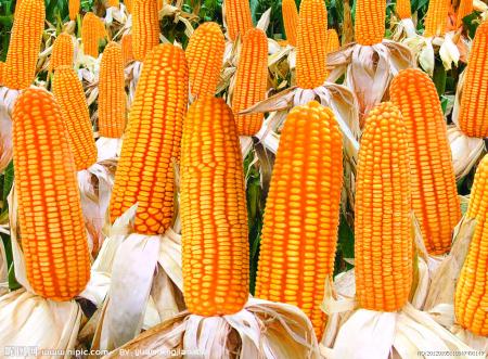 新季大量上市 玉米底部仍存有力支撑
