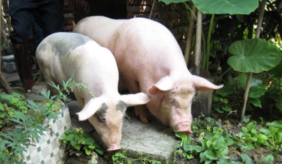巴西确认经典猪瘟疫情
