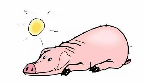 母猪天然的催情剂,多晒太阳比用催情药物都管用!