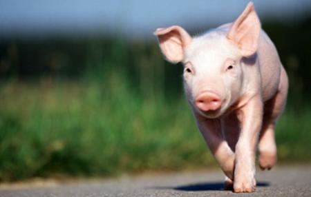 乐观的话,猪价真正的涨势应该是进入12月份后