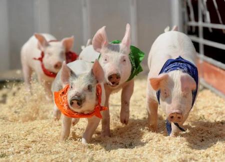 2018年10月16日(15至19公斤)仔猪价格行情走势