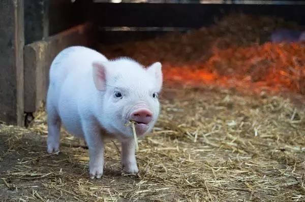 生猪禁运,调肉的却赚的跟白捡一样?