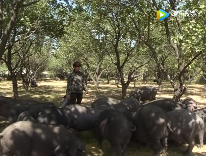 生态养猪新产业 农民致富新路子