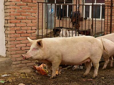 这个解剖案例,能让你更懂后备母猪的饲养管理