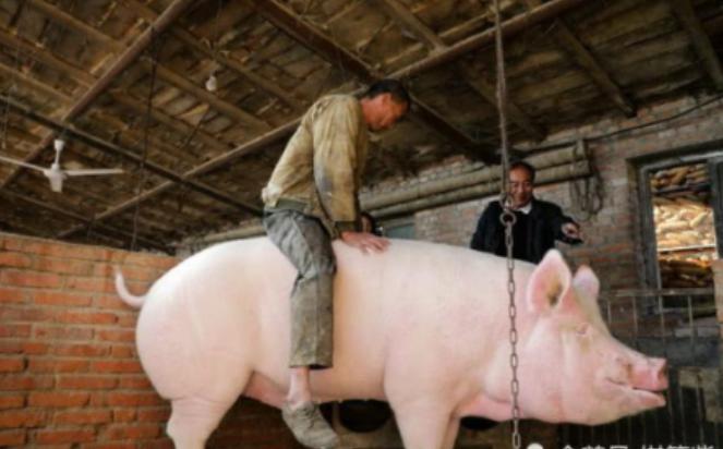 900斤大猪没人敢买,养猪人骑猪求关注:2年心血白扔了