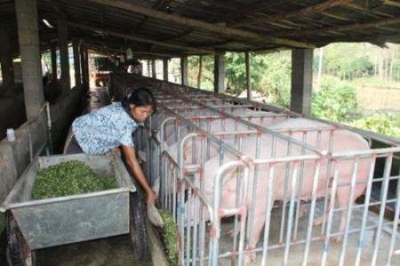 养40头母猪,是散户还是家庭农场,处于什么水平