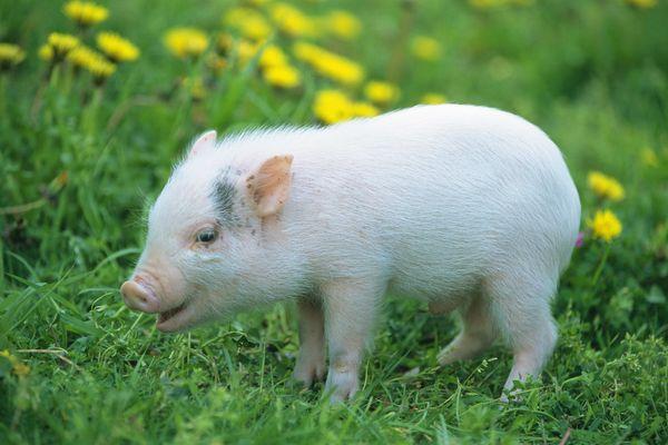 2018年10月21日(10至14公斤)仔猪价格行情走势
