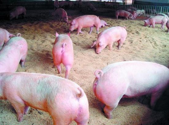 生猪入粤通道仅剩湖南,广东广西猪价已相差近1元