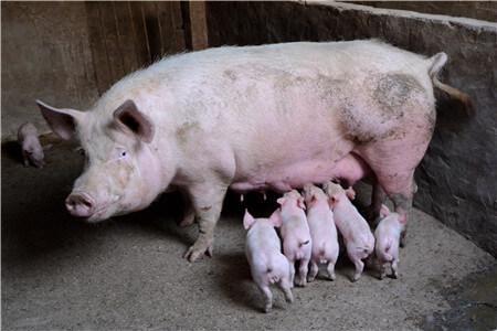 胎儿在母猪体内正常发育,如何防止死胎和流产?(二)