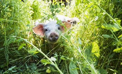 非洲猪瘟南下我国四分之三区域调运受限 猪市堪忧