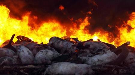 湖南处置非洲猪瘟疫情:疫区存栏生猪将全部扑杀