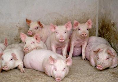 仔猪是猪场实现无抗饲养最为关键的群体