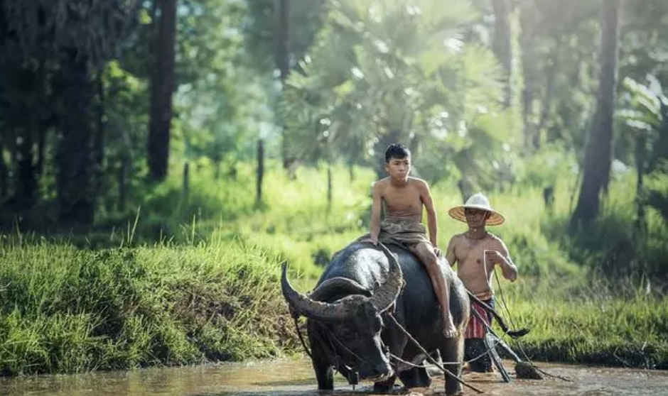 去美国化,中国养猪业才有未来!