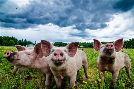 """全面禁止用餐厨剩物喂猪!讨伐非洲猪瘟,需勠力同心!也请不明吃瓜群众""""别闹""""……"""