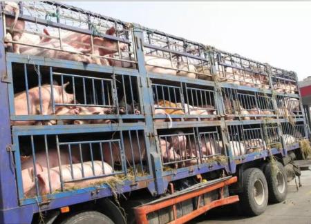 安乡:无害化处理150头入境生猪