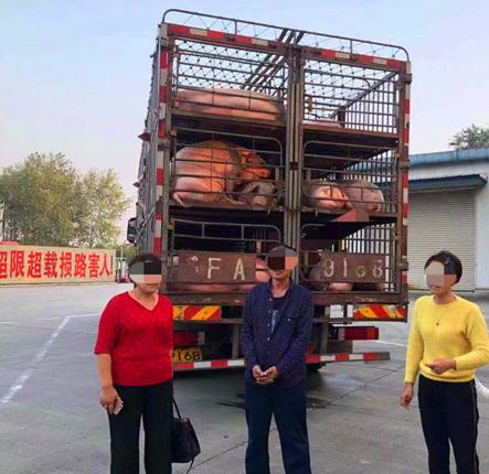 无任何防疫准许,江苏扬州警方拦下100多头猪