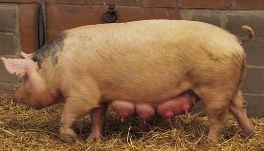 真假?缩宫素是造成母猪繁殖障碍的次生因素?