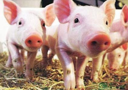 北方猪价开始小幅恢复 南方等待需求旺季