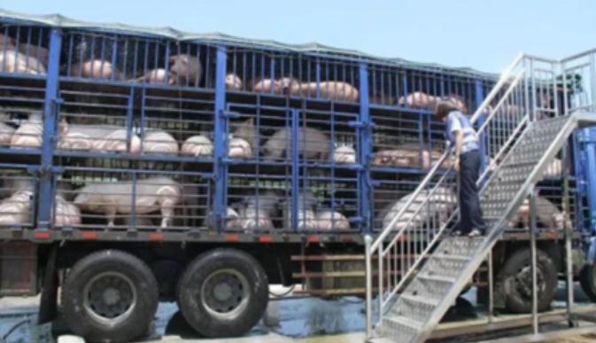 猪市到了最危险的时刻!生猪跨省禁运应该结束吗?
