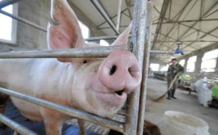 养猪家里不备这个药,难怪腹式呼吸的猪你治不好