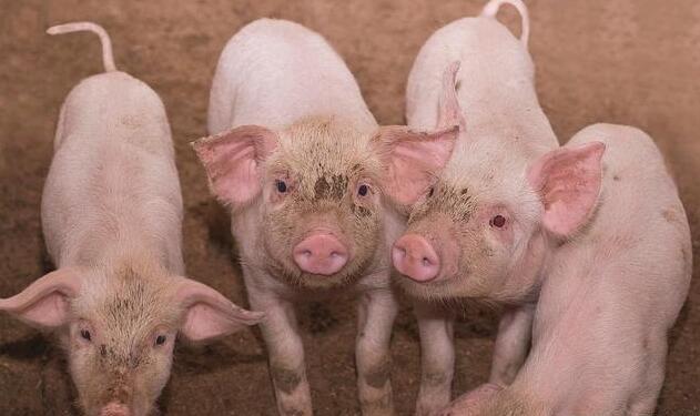 断尾错了?猪尾巴在猪的生活中居然有这么多作用!