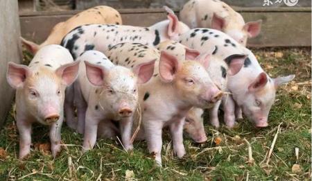 2018年11月10日(20至30公斤)仔猪价格行情走势