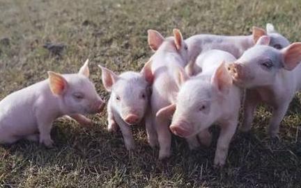 利润最高降90%、生猪出栏少28% 非洲猪瘟重挫部分上市猪企三季度表现
