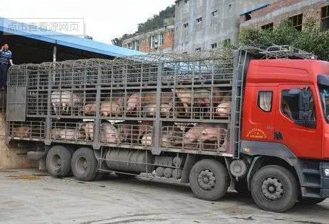 运生猪的车辆速速去备案,否则1个月后或将不能上路!