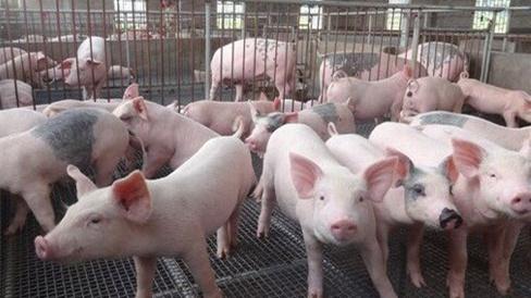 2018年11月11日(15至19公斤)仔猪价格行情走势
