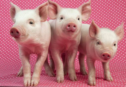 养猪人遭遇寒冬 屠企却喜逢春天