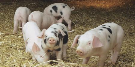 2018年11月12日(20至30公斤)仔猪价格行情走势
