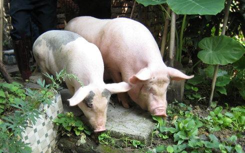 论企业如何发展,谈怎么能养好猪。 走全员发展的战略道路, 利益共享机制治企方针。