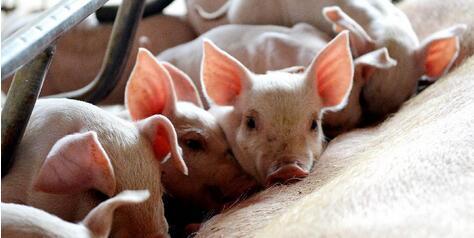 2018年11月13日(15至19公斤)仔猪价格行情走势
