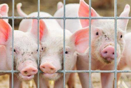感染非洲猪瘟的病猪疑似广泛进入中国人的食物链!?