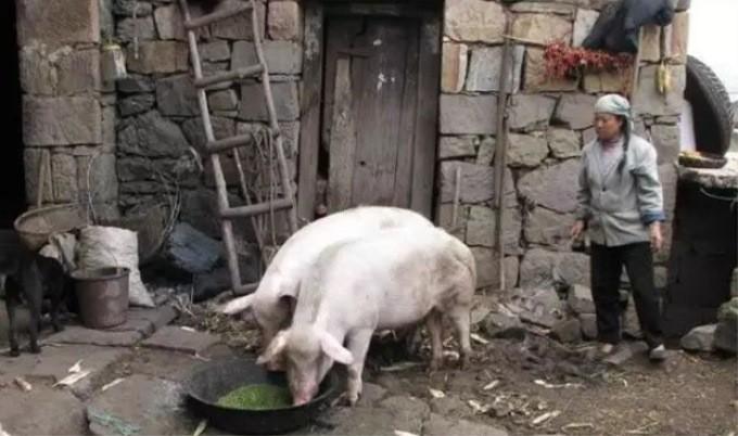 2018年11月15日全国各省生猪价格土杂猪价格报价表
