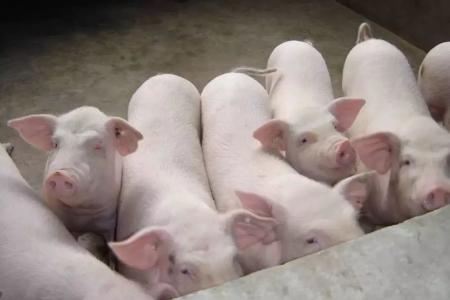 2018年11月16日(10至14公斤)仔猪价格行情走势