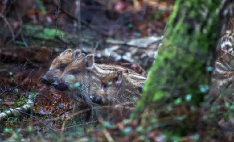 国家林业和草原局办公室下发通知 监测防控野猪非洲猪瘟疫情