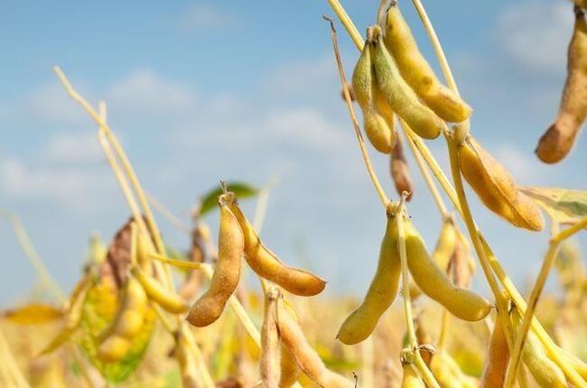中美大豆贸易将回归常态 ?