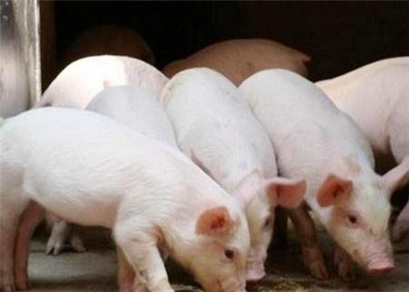"""11省猪价下跌,最低4.2元,养猪人的""""难""""其他人不懂!"""