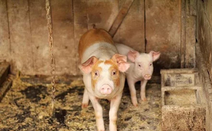 猪肺炎支原体与其它病原混合感染后导致肺脏病变更加严重